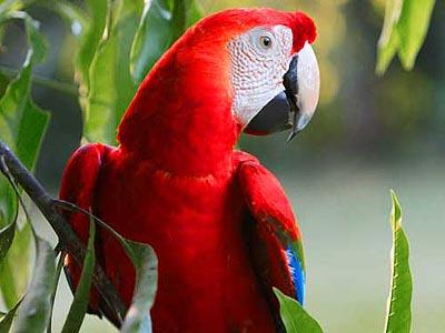 Scarlet macaw Madre de Dios